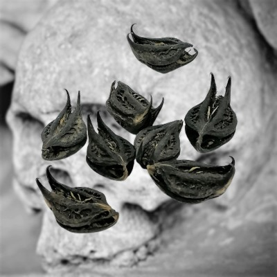 Bat head root, devil pod, bat head root, devil capsule 10g