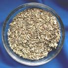 Finocchio (Foeniculum vulgare)