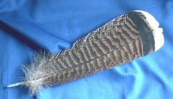 Turky Feather